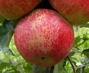 Oidio del melo