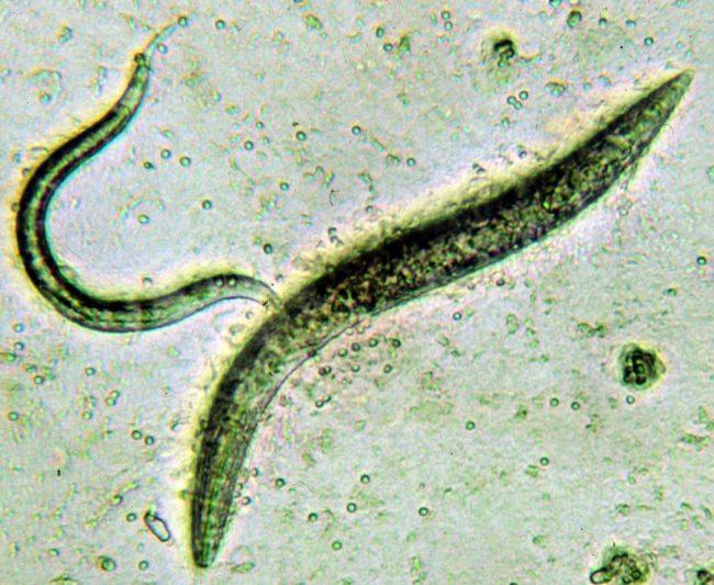 nematodi galligeni