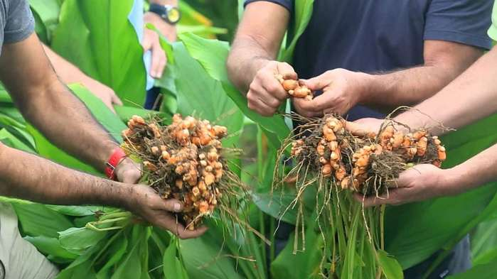 come coltivare la curcuma