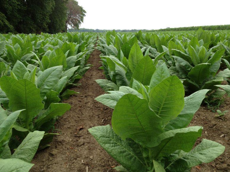 coltivare il tabacco