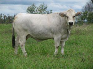 razze bovine da carne