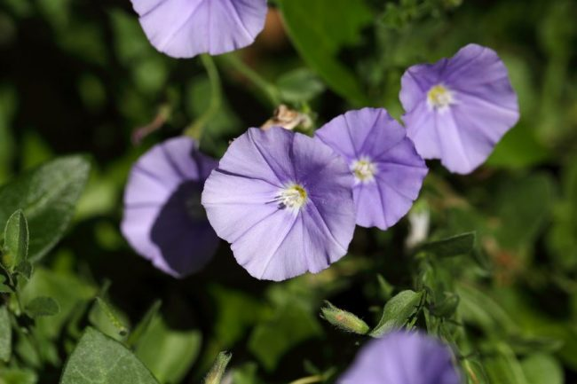 fiori di convolvolo