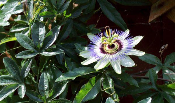 passiflora per tisane