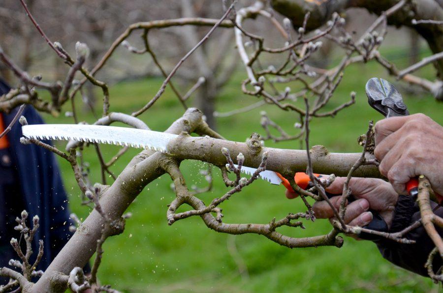 Potatura del melo la guida precisa di come effettuarla for Potatura del melo