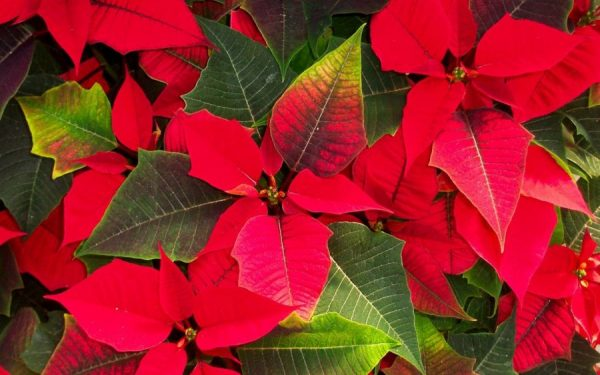 La Stella Di Natale Va Potata.Come Coltivare La Stella Di Natale I Segreti Per Mantenerla Bella