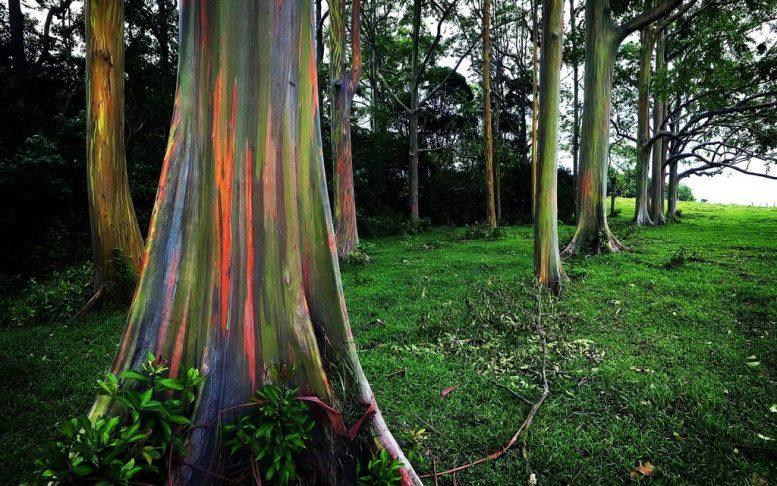 eucalipto arcobaleno 2