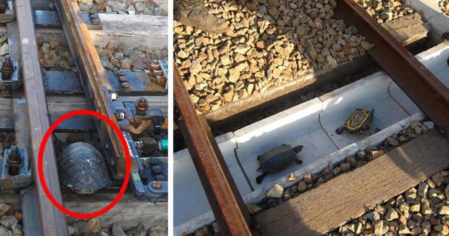 attraversamenti per animali - le ferrovie giapponesi a prova di tartaruga