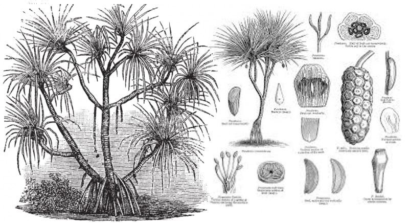 Pandanus Candelabrum, la pianta che cresce sopra i diamanti - Ricerca dell'americano Stephen Haggerty