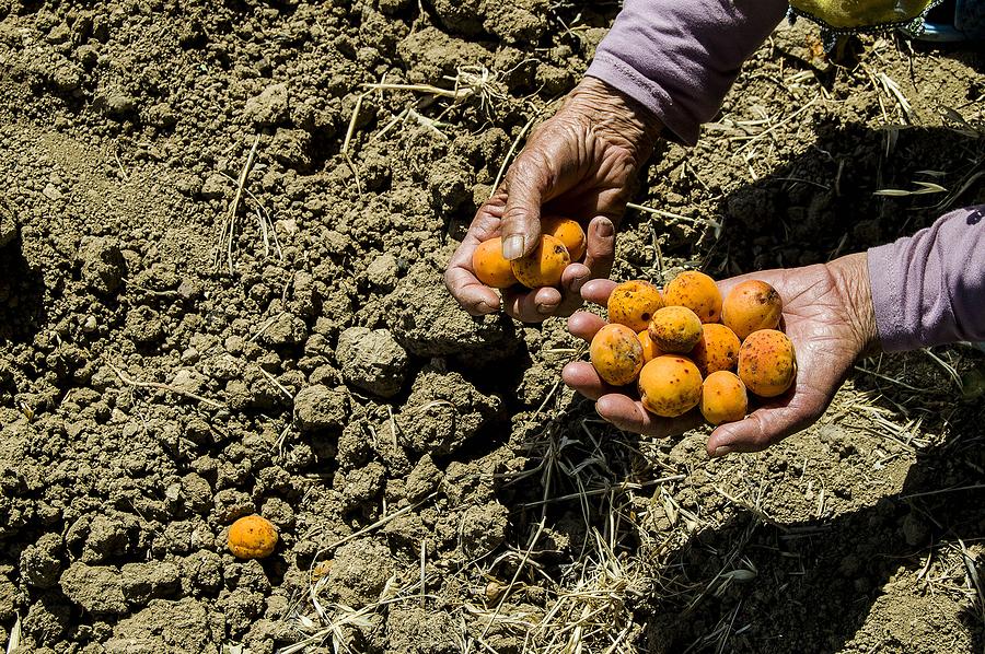 come coltivare l'albicocco
