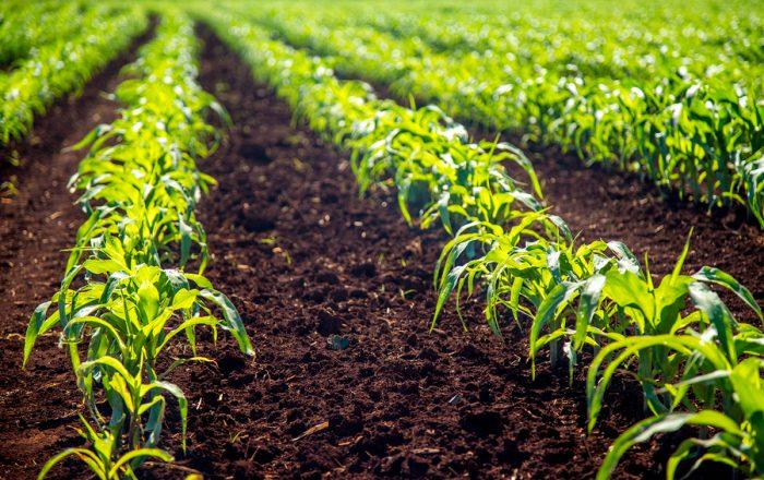 come coltivare il mais