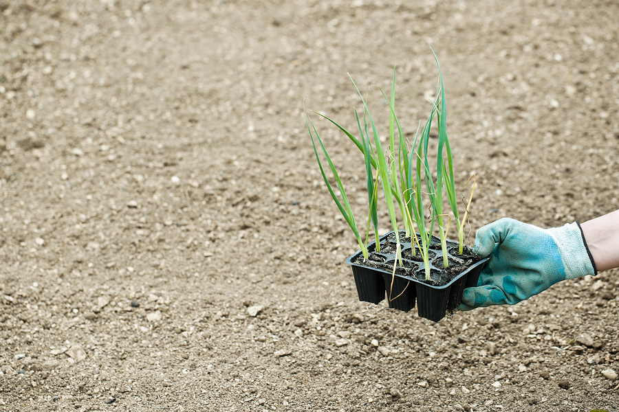 come coltivare il porro
