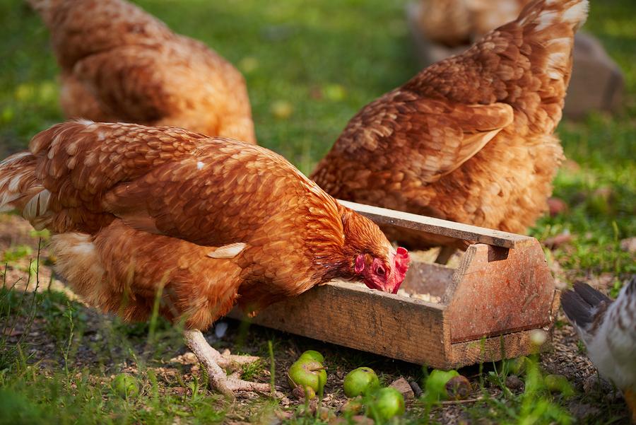 Allevare galline ovaiole in casa