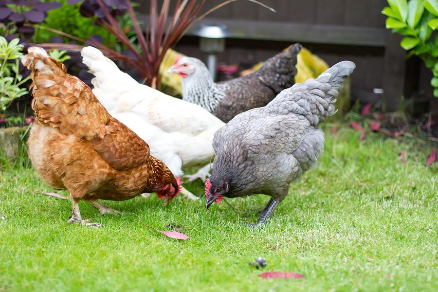 allevare galline ovaiole in casa come bisogna fare