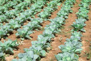 come coltivare broccoli