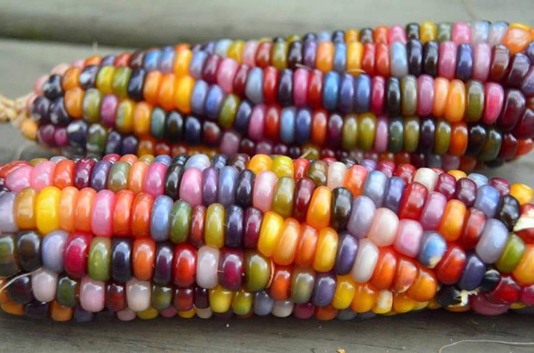 pannocchie di Glass Gem Corn il mais arcobaleno