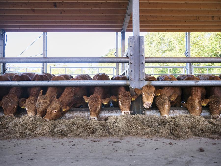 Limousine razza bovina