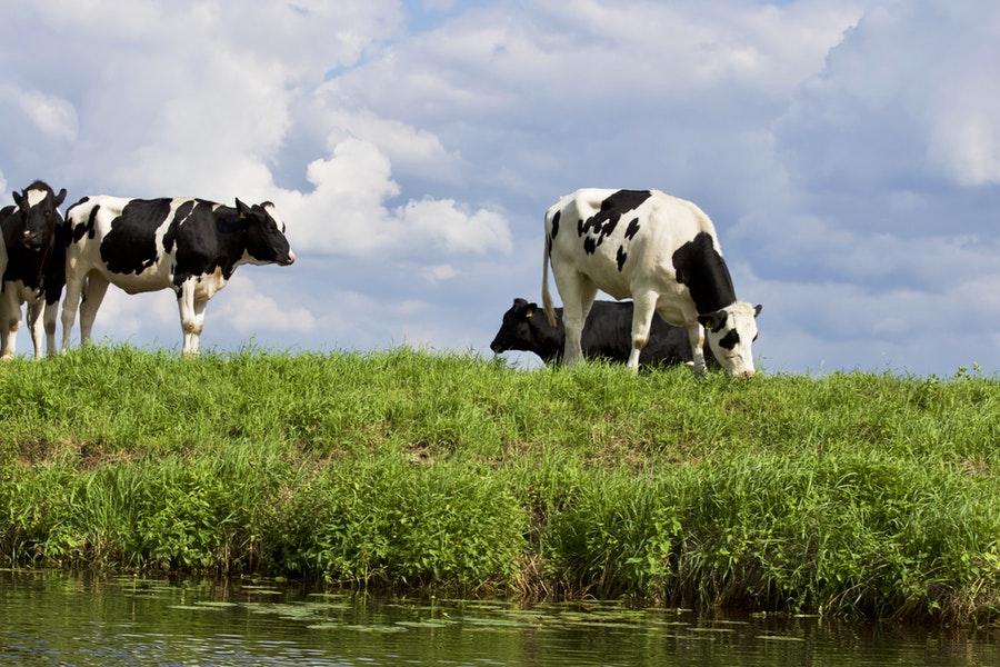 Razze bovine francesi