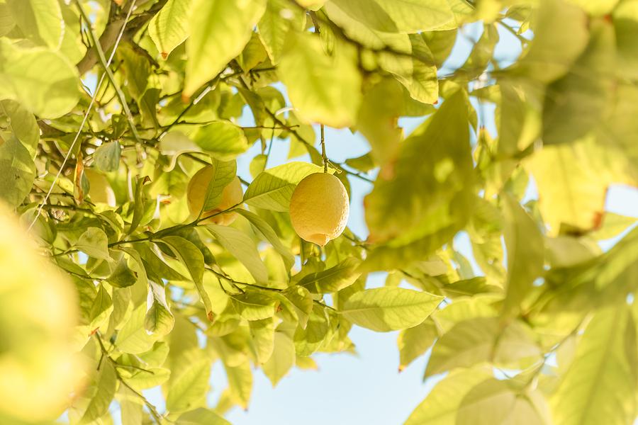 malattie della pianta di limone