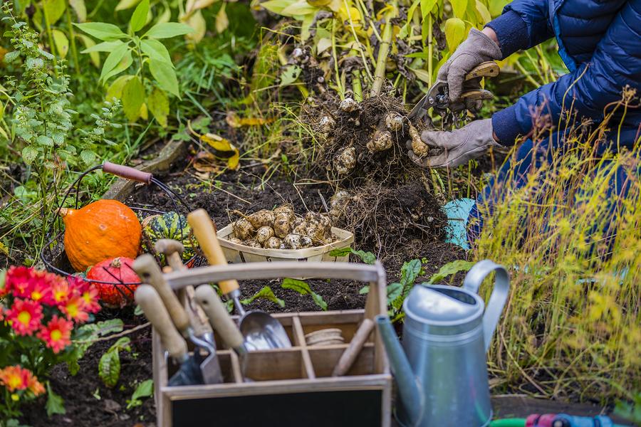 coltivare il topinambur