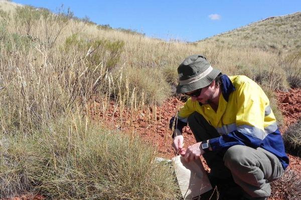 Matthew Barret raccoglie campioni di spinifex, la pianta che sa di pattaine al gusto sale e aceto