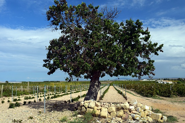 albero di gelso