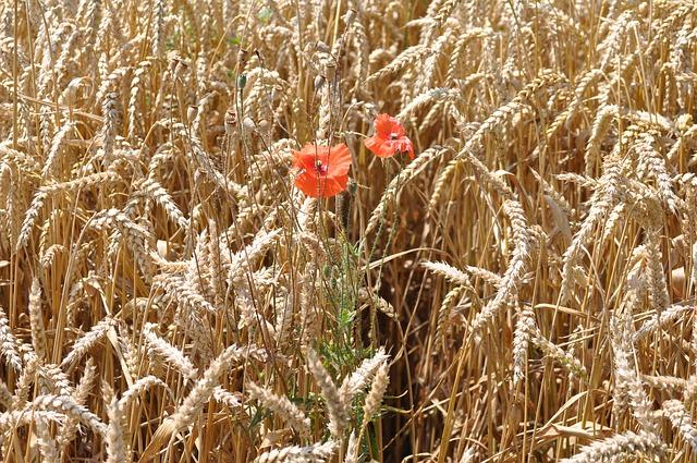 come aumentare la resa qualitativa dei cereali