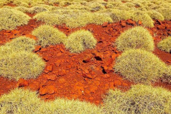 la pianta australiana spinifex sa di patatine al gusto sale e aceto