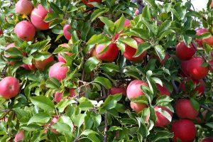 malattie del melo