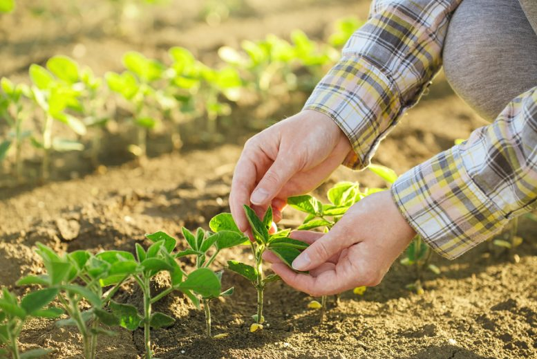 come coltivare la soia