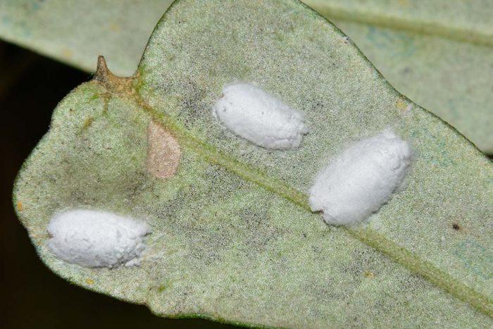 malattie dell'olivo cocciniglia cotonosa