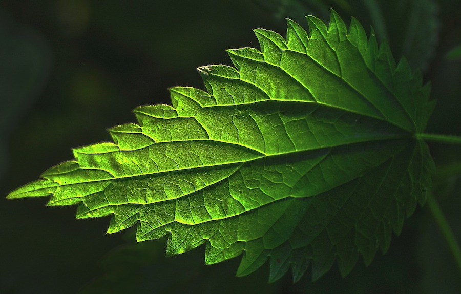 Come coltivare l'ortica: tutto quello che devi sapere