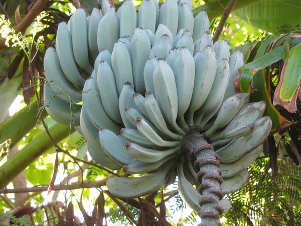 banane giganti