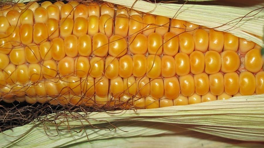 come raccogliere il mais