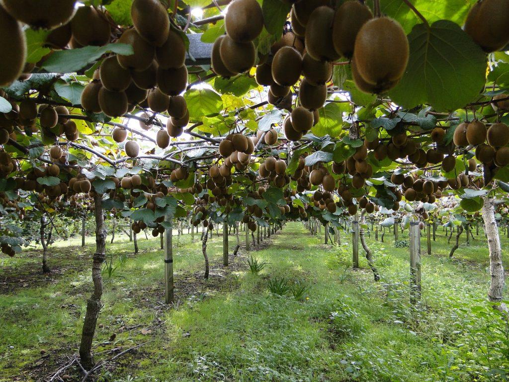 La potatura del kiwi