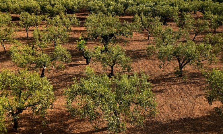 irrigazione olivo