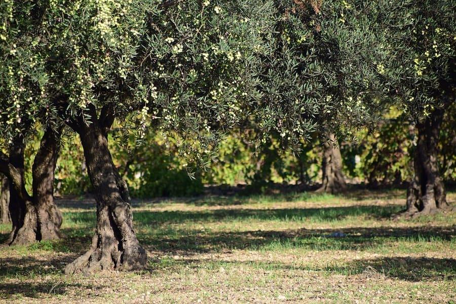 Mappa Xylella Puglia.Emergenza Xylella Puglia Aggiornate Le Zone Delimitate
