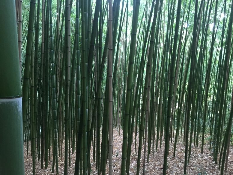 bambu gigante