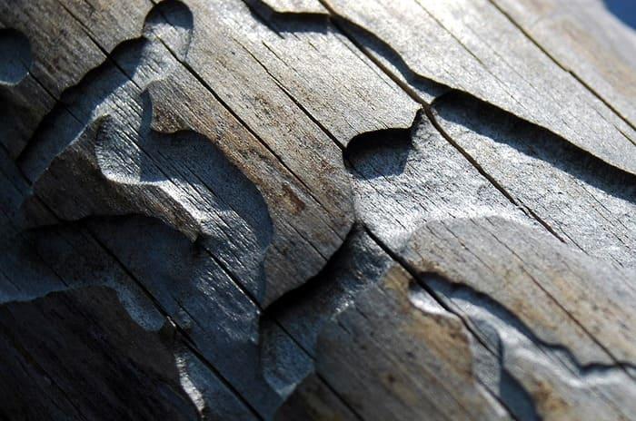 bostrico del legno