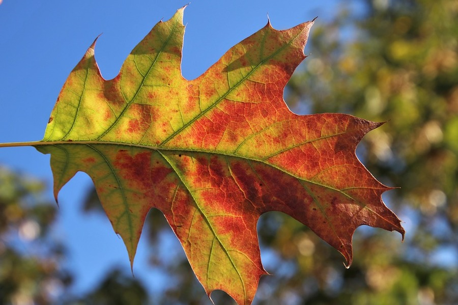 carenza azoto foglie