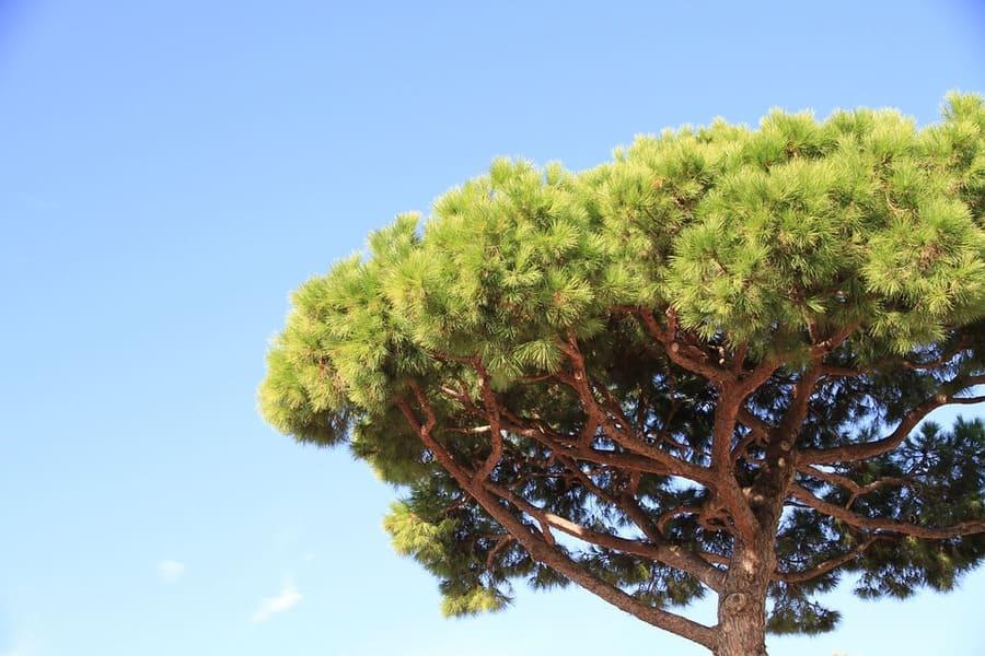 come crescere i pini