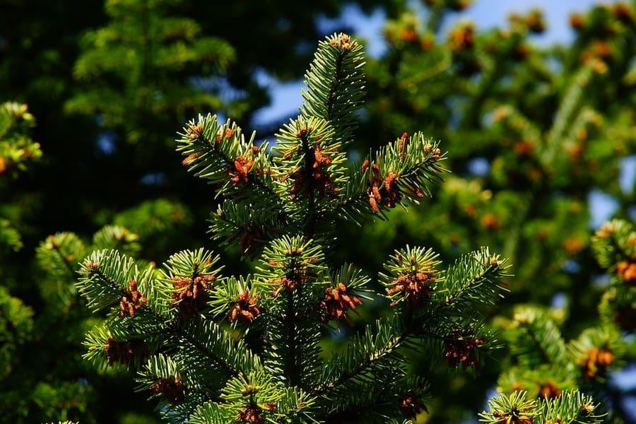 pino pinoli