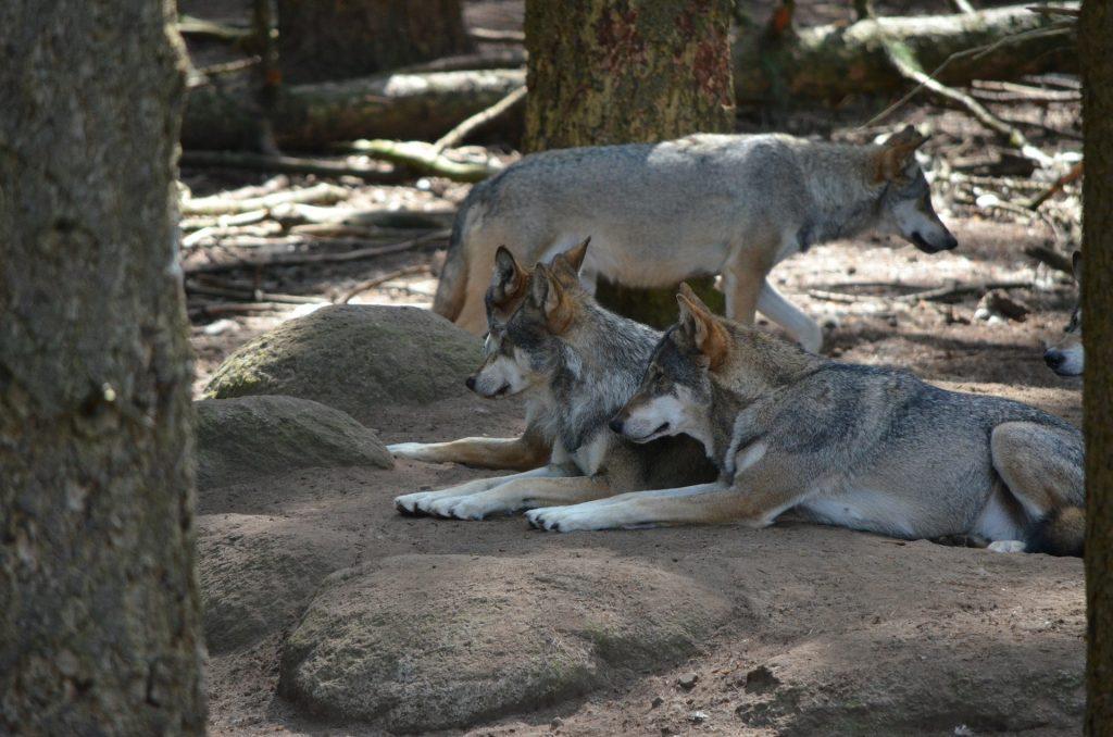 danni da lupo