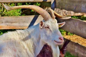 come allevare le capre