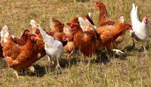 Allevare galline ovaiole a terra
