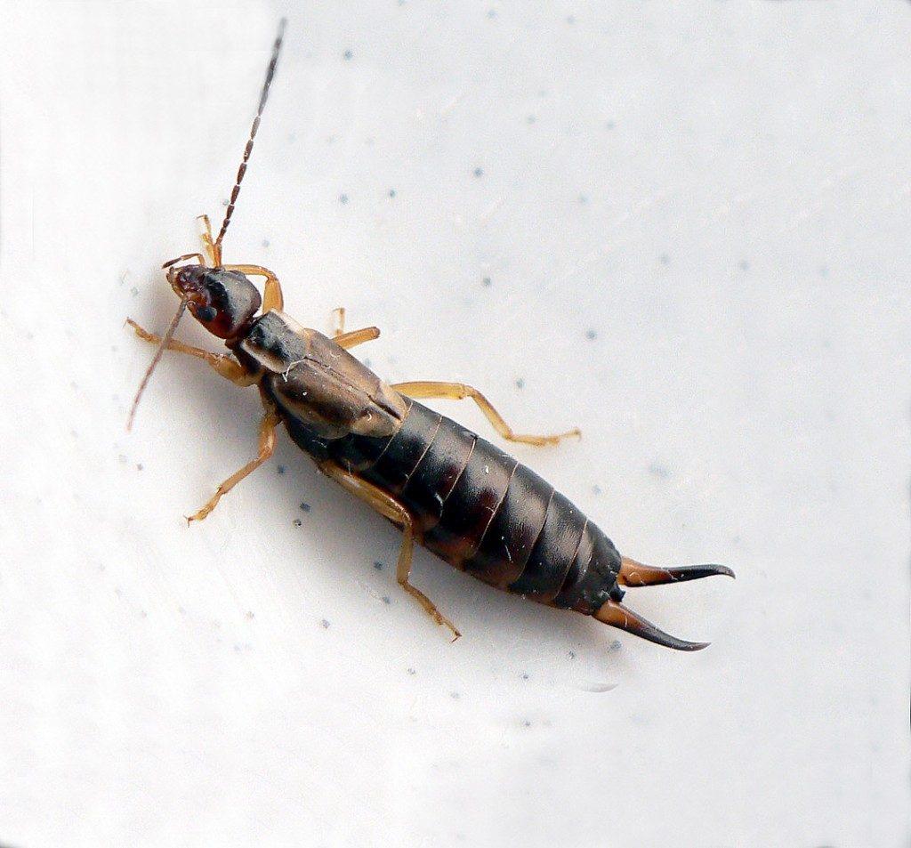 L'insetto forbice