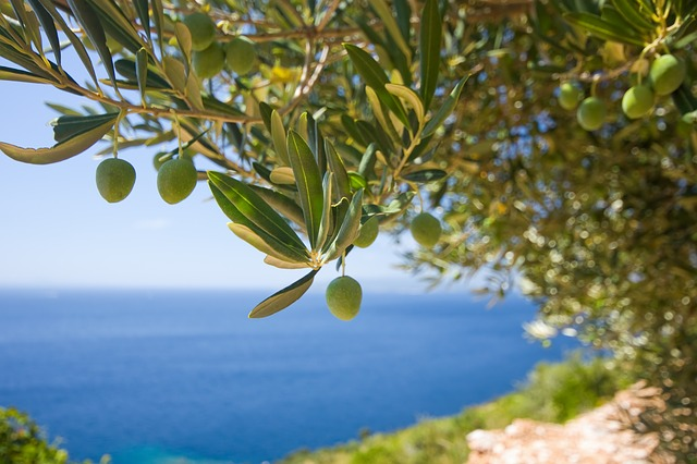 tignola dell'olivo