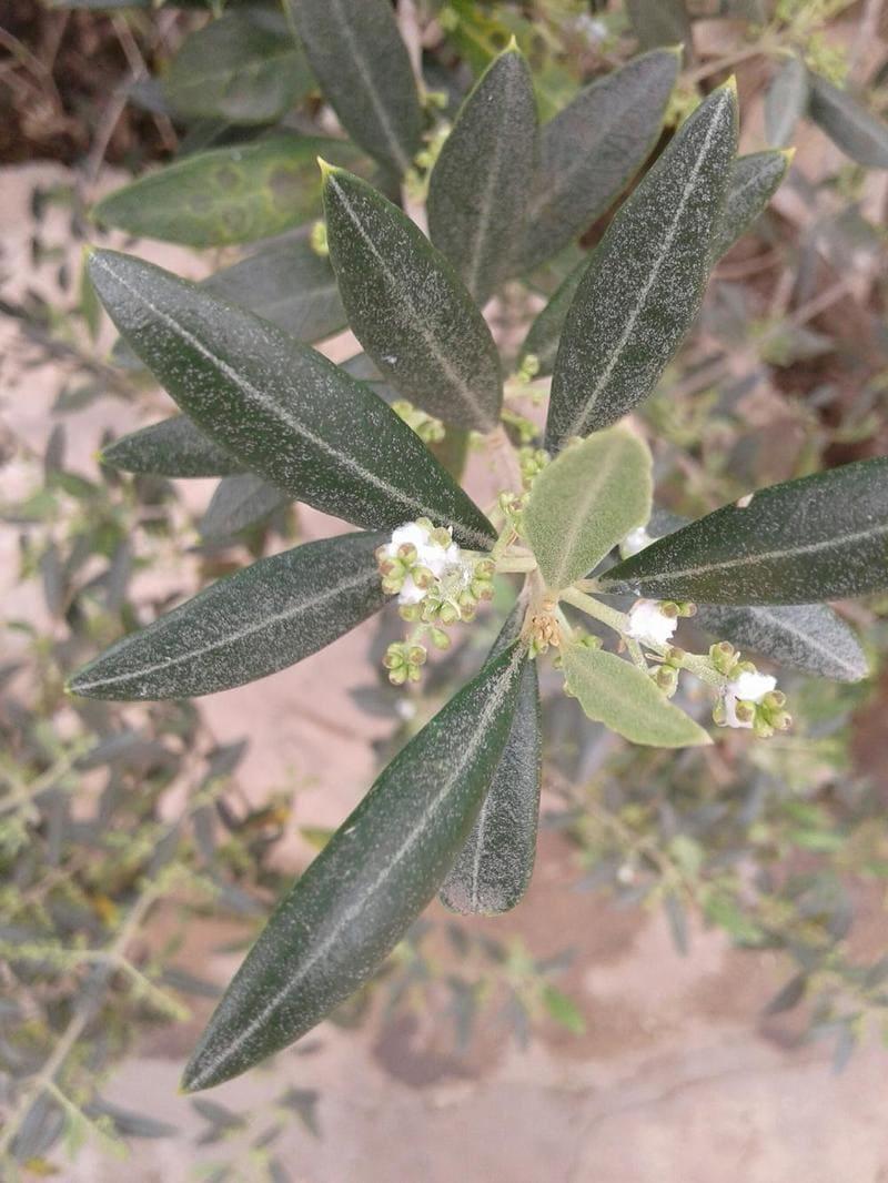 rimedi cotonello olivo
