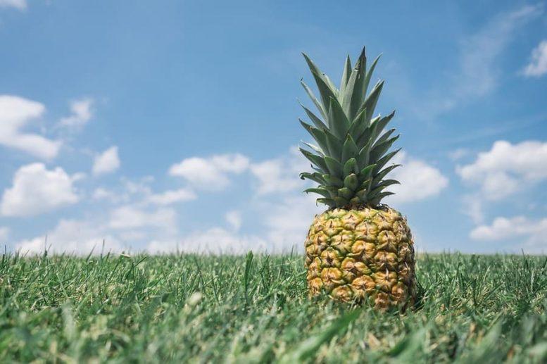 coltivazione ananas