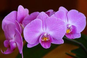 coltivazione orchidea