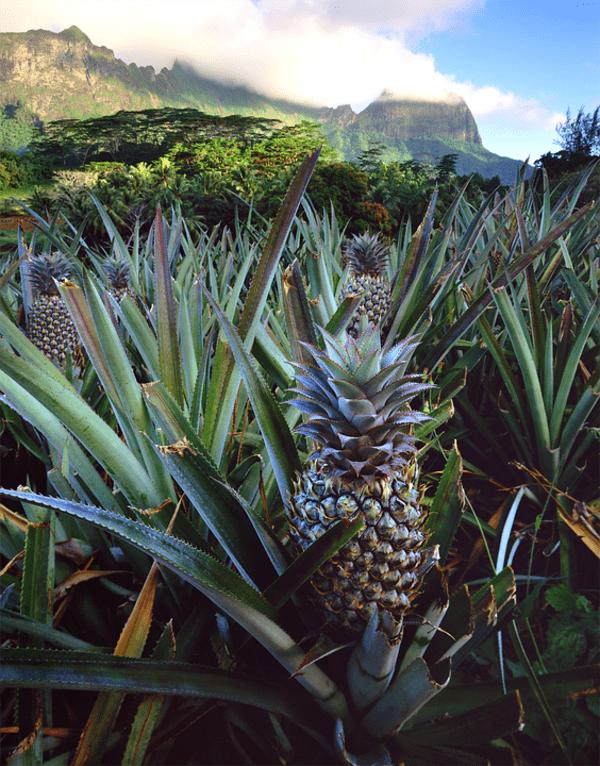 piantagione di ananas